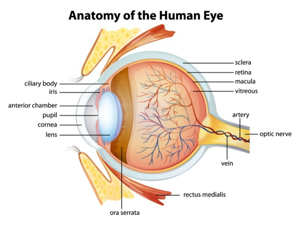 The Anatomy Of Your Eye Eyesite
